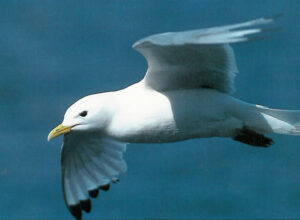Mouette trydactyle