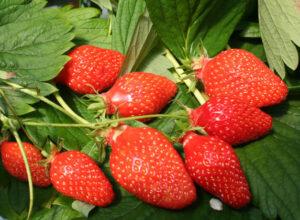Les fraises gariguette