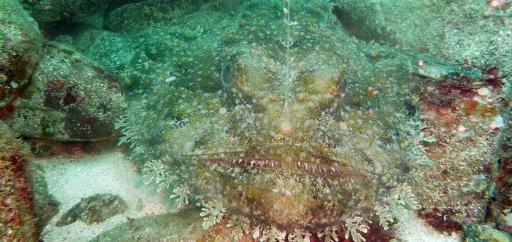 Tête énorme Bouche largement fendue Grandes pectorales Appât sur le 1er rayon de la dorsale